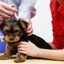 子犬にワクチンはいつ接種する?種類は?獣医師がワクチンの疑問を徹底解説