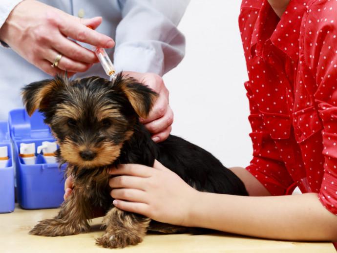 【獣医師執筆】子犬にワクチンはいつ接種する?種類は?獣医師がワクチンの疑問を徹底解説