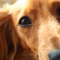 【獣医師執筆】犬の視界も白黒じゃない!? 知っておきたい犬の視界と目の病気