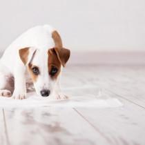 ちゃんとできたら褒めてあげよう!最初に教えたい「犬のトイレのしつけ方」