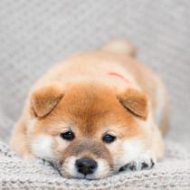 【獣医師執筆】尾追い行動に注意!柴犬の飼い主が知っておきたいケガ・病気3選