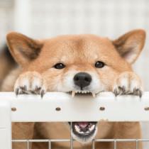 【獣医師執筆】実は攻撃的な犬種!? 柴犬の飼い主さんなら知っておきたい性質としつけ方