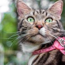 【獣医師執筆】猫とおでかけするために!「慣れさせる方法と準備したい物」とは