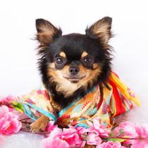写真館にインタビュー!愛犬の幸せを祈念して「わんちゃんの七五三」に挑戦しよう