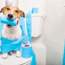 【獣医師執筆】成犬でもしつけは可能!? よくある「トイレの失敗」原因と対策を解説