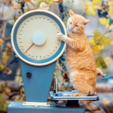 安全に痩せるためにはどうしたらいい?猫の「ダイエット」気になる手順を紹介