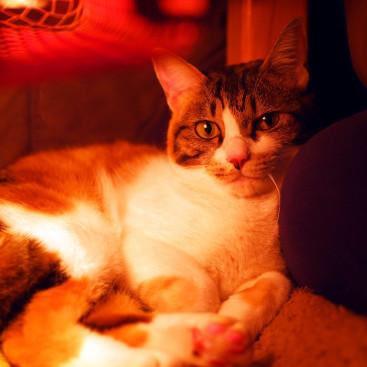 【獣医師執筆】「猫はこたつで丸くなる」の不思議に迫る!体温の基本知識&調節メカニズム