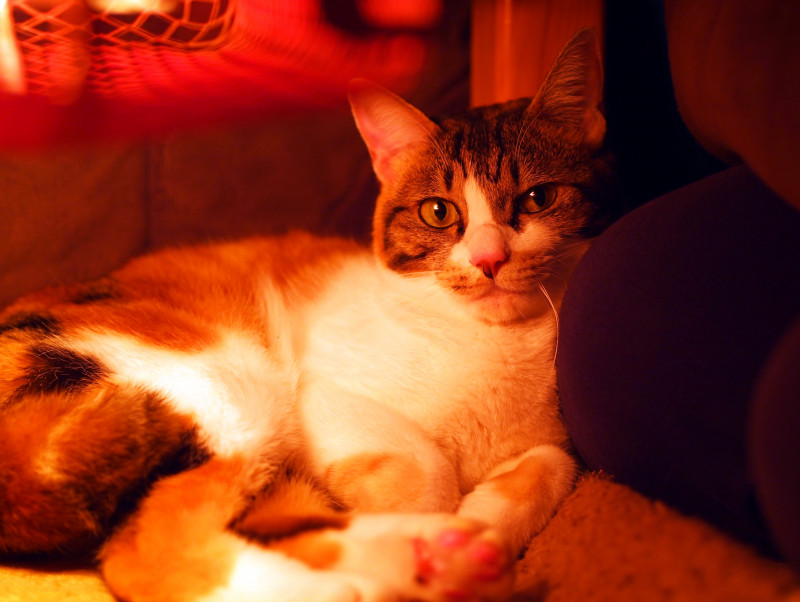 「猫はこたつで丸くなる」の不思議に迫る!体温の基本知識&調節メカニズム
