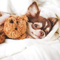 【獣医師執筆】愛らしい瞳にメロメロ!初心者さん必見「小型犬」との暮らし&注意点
