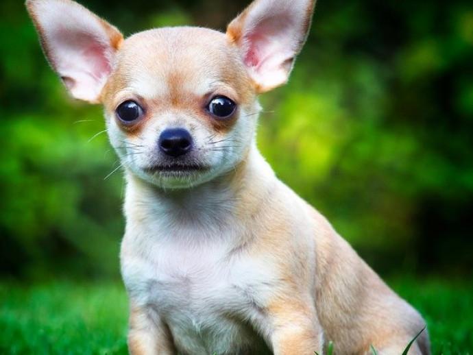 うるうる可愛い「チワワの目」!つぶらな瞳を守るために実践したい習慣