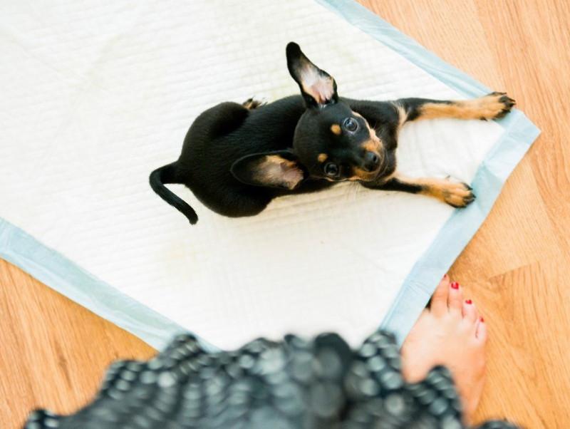 飼い主のリアルな悩みに獣医師がアドバイス!犬のしつけ「トイレ編」