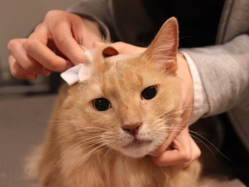 あなたの愛猫は大丈夫?日ごろから実践したい「耳掃除」の正しい方法