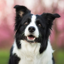 犬の「脳」はどうなってるの?思考(賢さ)の側面と構造的な側面から解説