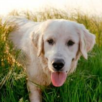 犬には「血液型」がたくさんある?基礎知識と輸血の現状・注意点について