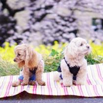 愛犬とお出かけ!わんちゃんの手作りごはん「春の行楽弁当」レシピ