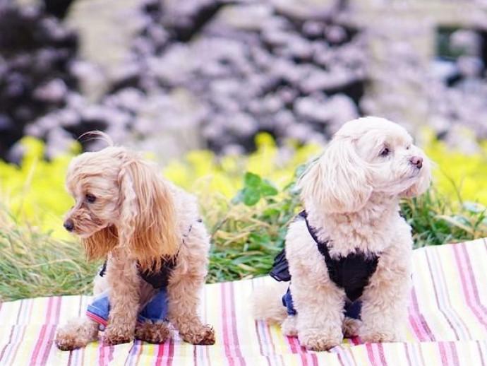 愛犬とお揃い!わんちゃんも食べられる「春の行楽弁当」レシピ
