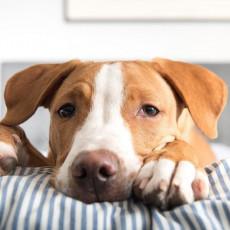 【獣医師執筆】慌てず冷静に対処しよう!犬の「痙攣」について解説