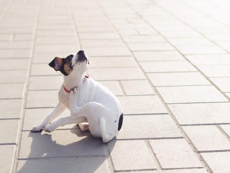 「ノミ」の被害はたくさんある!? 愛犬を守るために知識を深めよう