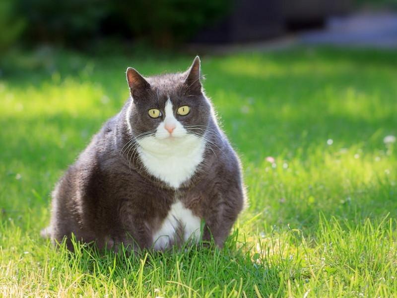 大切なのは体重管理!「肥満によってリスクが上がる」猫の病気について