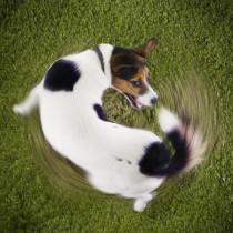 あるある…でもなんで?「同じ場所をくるくる回る」犬のふしぎな行動