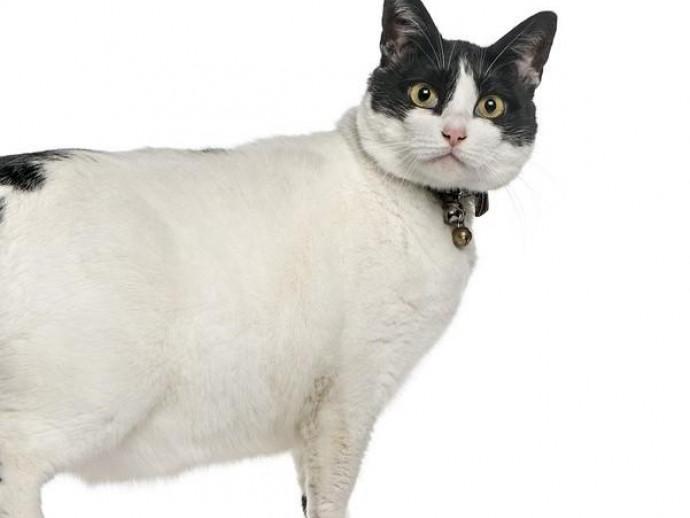 うちの猫、ちょっと食べすぎ?猫の「過食」に隠された秘密とは