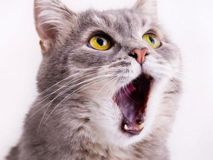 虫歯よりも歯周病に注意?猫が陥る「口腔内」の疾患について