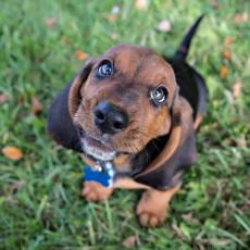 目が見えなくなる前に気づこう!犬の「白内障」と「緑内障」について