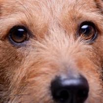【獣医師執筆】気をつけたい2つのパターンとは?犬の「ドライアイ」について徹底解説