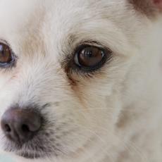 【獣医師執筆】犬の「ドライアイ」!気をつけたい2つのパターンとは?