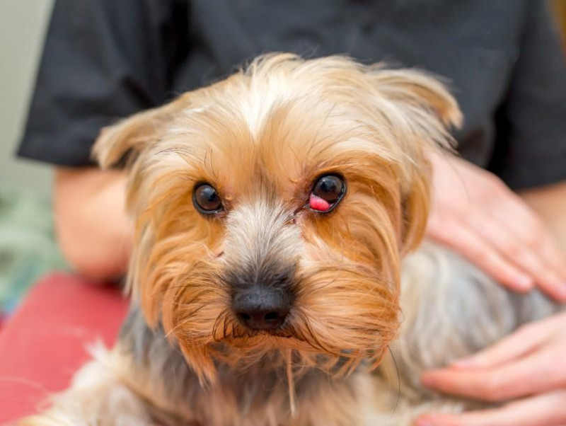 【獣医師執筆】犬の目頭が赤く腫れる「チェリーアイ」症状や治療法とは