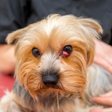 目頭が赤くぽっこり…どの犬でもなるの?「チェリーアイ」を解説!