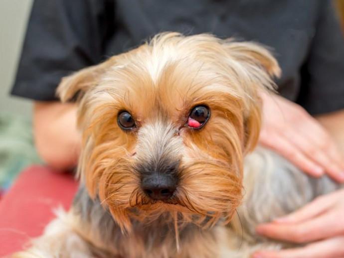 【獣医師執筆】目頭が赤くぽっこり…どの犬でもなるの?「チェリーアイ」を解説!