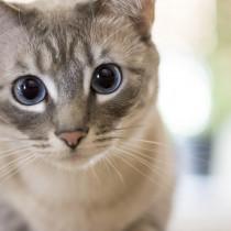 【獣医師執筆】猫の目の白い膜は第三のまぶた「瞬膜」その役割と関連する病気とは