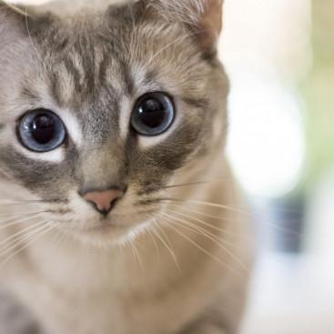 目に現れる白い膜の正体!猫の第三のまぶた「瞬膜」の役割と関連する病気