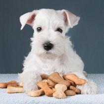 食欲の秋…でもあげすぎに注意!犬のおやつ正しい量と与える回数は?