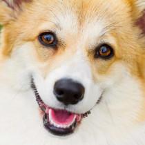 犬の目にゴミが入った!家庭でできる対処法と受診すべき状況を獣医師が解説