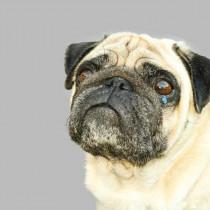 犬って泣くの?「涙」を流す理由と悲しんでいるときにする行動