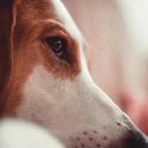 犬の目元のケアってどうするの?家庭でできる基本のお手入れと注意点