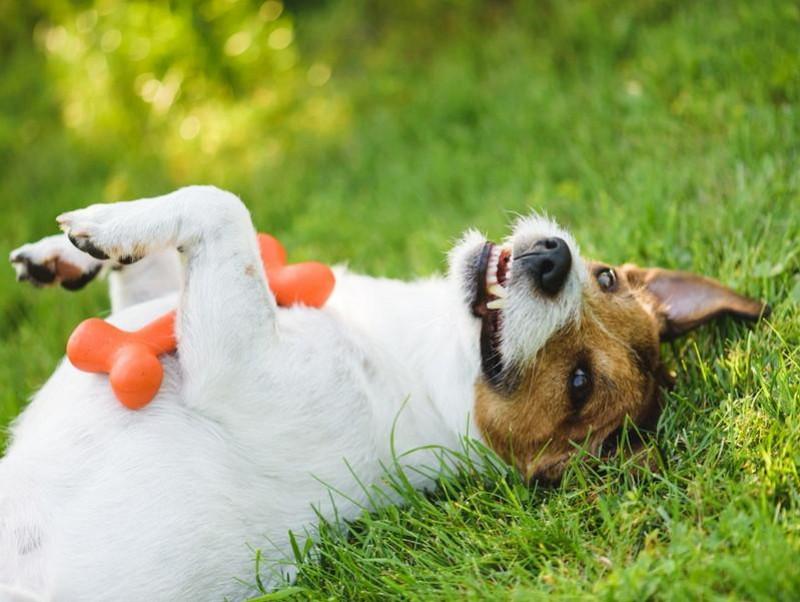 衝撃!犬はお腹を撫でられるのが嫌だって本当?仰向けになる意味と撫でられているときの気持ち
