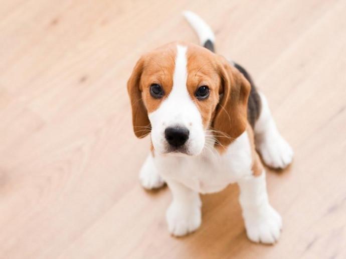 脱臼・骨折・ヘルニアまで…!フローリングで引き起こされる室内犬の関節病と対策