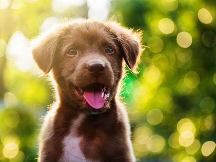 愛犬が見つめる姿にキュン…これは計算!?犬は「子犬のような目」を進化で手に入れた