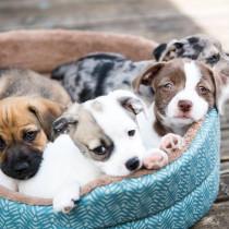 【獣医師執筆】犬の得意は脳で決まる!犬種による脳構造の違いと得意分野の関連について
