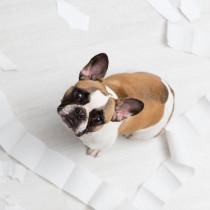 おもらしの原因はオスとメスで違う!犬の「尿もれ」の原因と家庭でできる対策