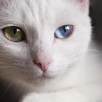 神秘的…だけど病気になりやすいって本当?猫の「オッドアイ」の特徴と猫の目の色について