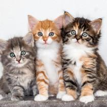 三毛猫は幸福をもたらすって本当?猫の柄はこうして決まる!遺伝子の仕組みを解説