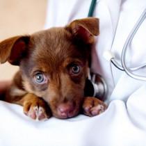 目が白くなるのは白内障だけじゃない…!犬の「角膜内皮ジストロフィー」とは?