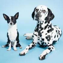 大型犬と小型犬、同時に飼っても大丈夫?大きさの違う犬の多頭飼いをするときに注意したいこと5つ