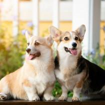 【獣医師執筆】決断するその前に!去勢・避妊手術が犬の生涯に与える影響について