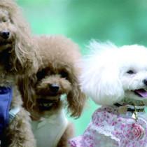 人気の犬種!トイプードルの抜け毛、毛の生え変わりについて