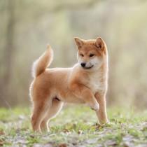 日本犬ってどんな犬?日本猫って1匹だけ?代表的な日本犬・日本猫種を行動傾向と共に紹介